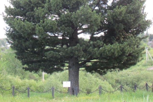 В Березовском растет 111-летняя сосна сибирская.