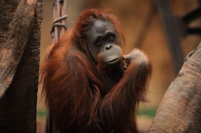 В Австралии скончался старейший орангутан планеты - Real estate