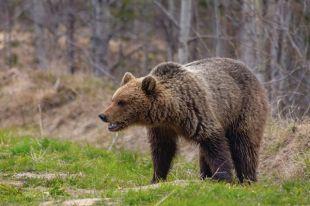 В Удорском районе этой весной зверь напал на мужчину, который заготавливал дрова в лесу.