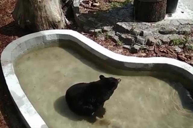 Медведица из калининградского зоопарка впервые за 18 лет увидела бассейн.