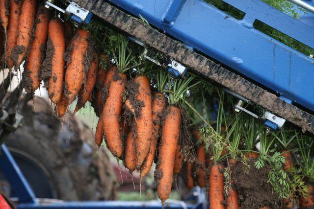Калининградские фермеры отправили в Ижевск более 100 тонн моркови.