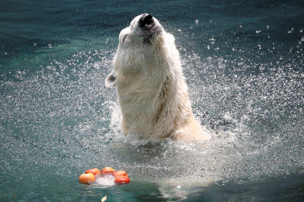 Белый медведь в жаркий день в парке развлечений в Юнжине, Южная Корея.