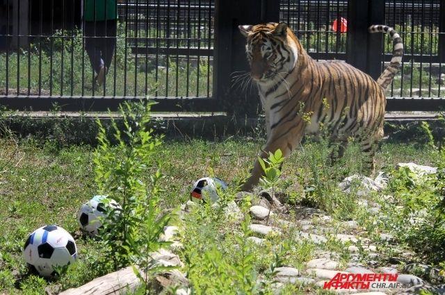 Тигрица Шилка уверено схватила зубами мяч с флагом Португалии, а от немецкого отпрыгнула, как от огня.
