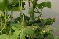 Наиболее урожайными считаются самоопыляющиеся огурцы.