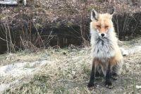 Главные разносчики болезни - лисы.