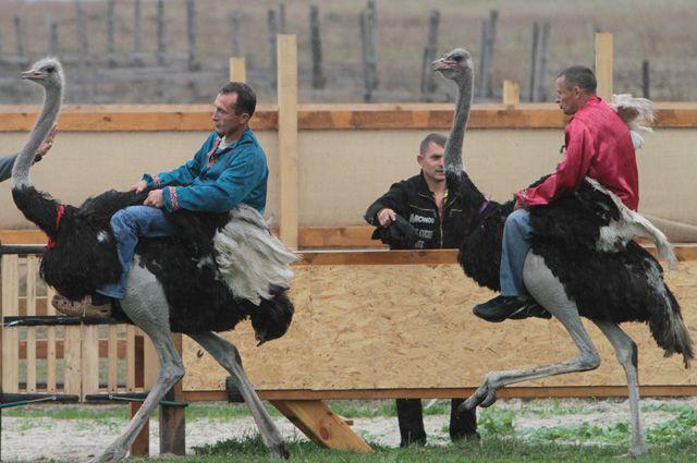 Распрягайте, хлопцы, коней. Запрягайте страусов!