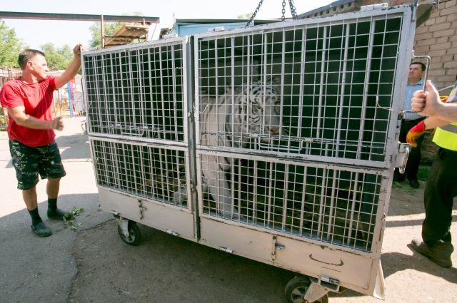 В Оренбурге перед операцией взвесили тигра.