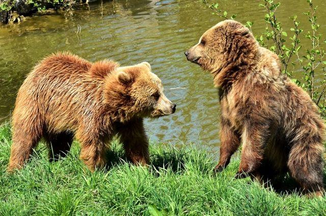 В Пуровском районе два медвежонка разворошили мусорку