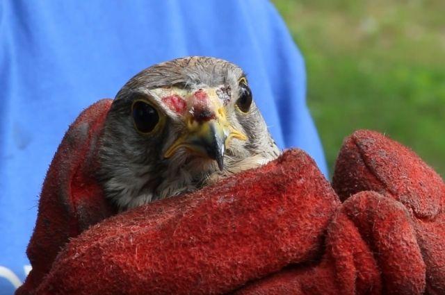 Птица прошла реабилитацию и благополучно покинула заповедник.