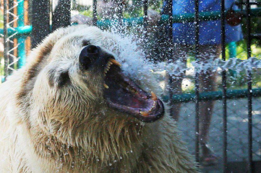 Тяньшанский бурый белокоготный медведь по кличке Памир во время водных процедур в жаркий летний день в зоопарке Красноярска.