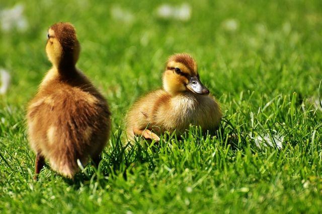 В той же Камской долине утка, испуганная грохотом техники, бросила гнездо с девятью яйцами. К счастью, яйца забрала неравнодушная пермячка. Семья купила инкубатор и через некоторое время на свет появились несколько птенцов.
