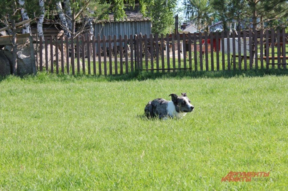 Например, одна такая собака может легко справляться со стадом овец, в котором будет до 80-90 голов.