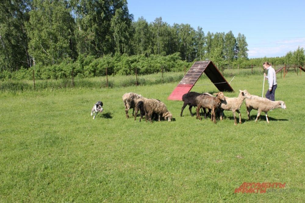 Кроме того, пес помогает другим пастухам - новичкам в этом нелегком деле.