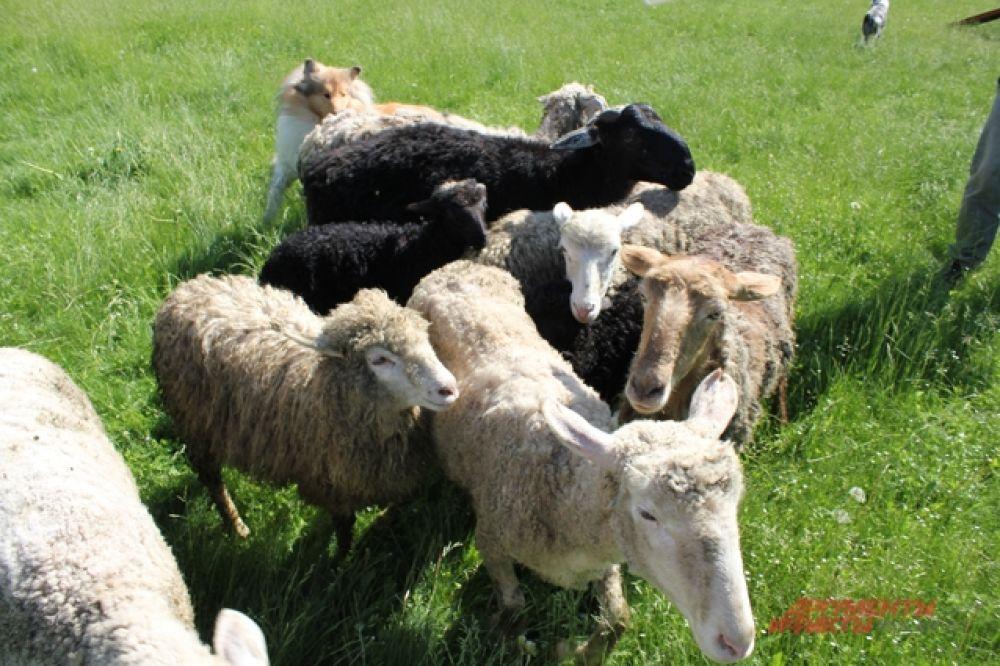 Овцы слушают своего пастуха и идут в правильном направлении.