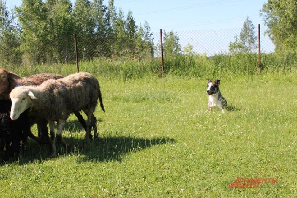Помимо пастушьей службой Стэлс участвует в различных соревнованиях. Например, сдает нормативы по бегу по снарядам.