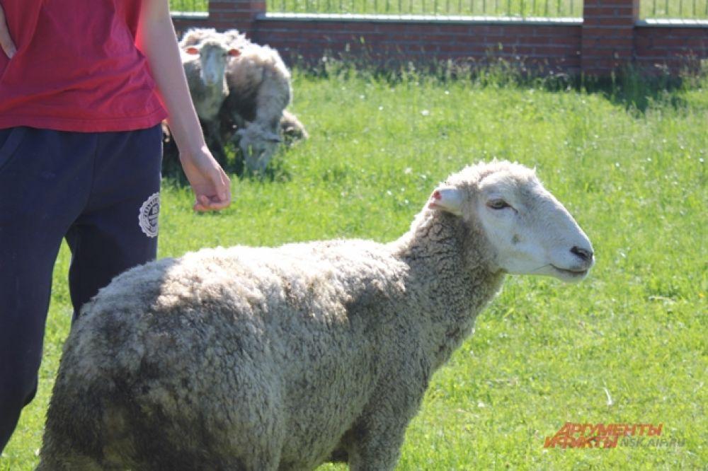Овцы спокойно ведут себя на выпасе и слушаются своего предводителя.