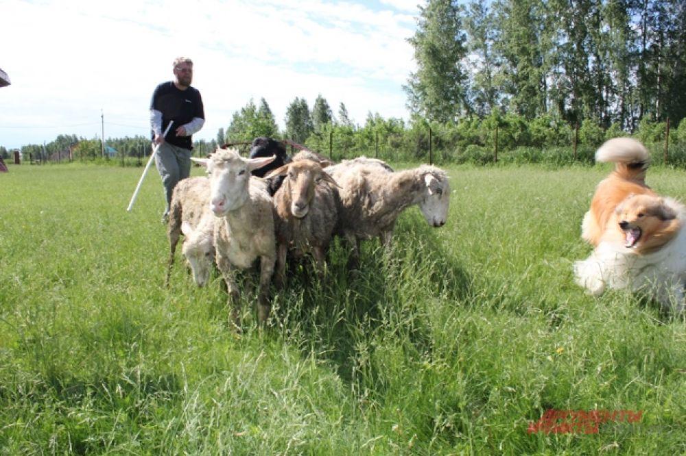 В некоторых ситуациях пёс строго следит за овцами.