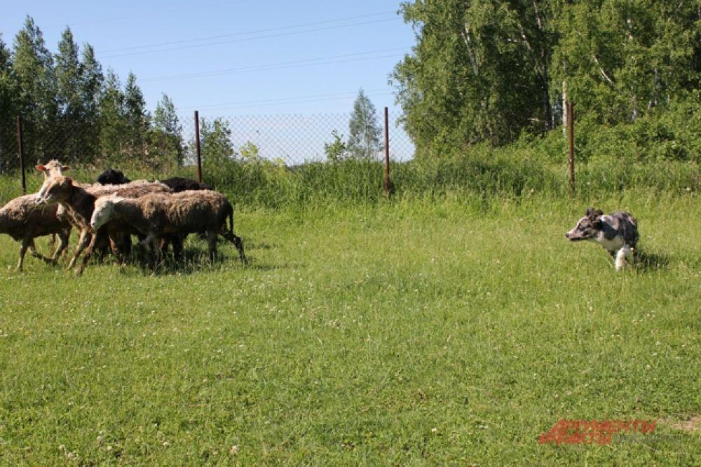 Красавец породы бордер-колли каждое утро тренируется вместе со своей хозяйкой пасти овец.