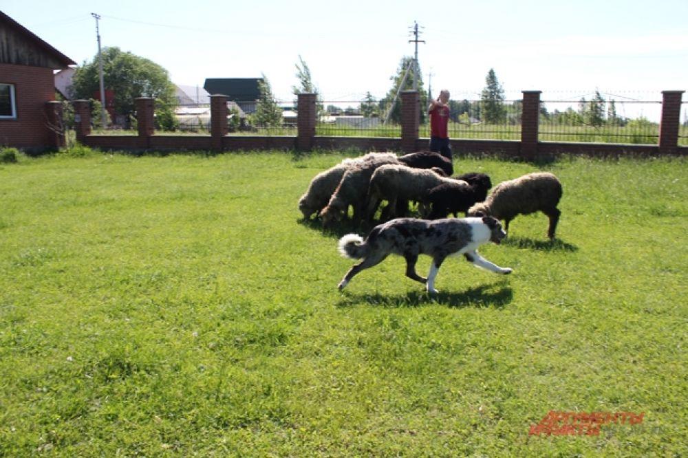 По словам хозяйки пса, и по совместительству инструктора по дрессировке собак, собаки породы бордер-колли отличаются от других пастушьих пород тем, что могут пасти овец на дальних расстояниях.