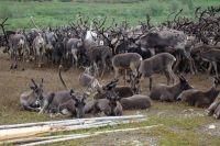 На Ямале вакцинировали 28% оленей от общего поголовья