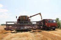 По прогнозам, зерновых в этом году будет собрано меньше, чем в прошлом.
