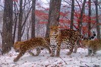 Три пятнистых кота, повзрослев, разошлись по тайге.