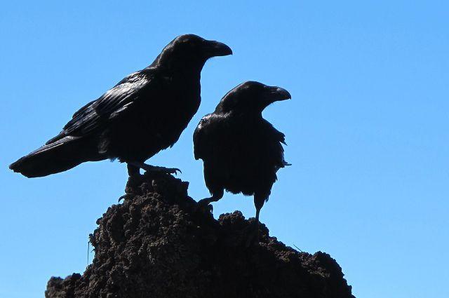 В Тюмени ворона Яша ищет нового хозяина