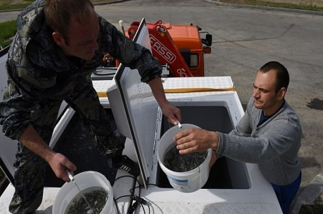 Собский рыбоводный завод выпустил в Обь мальков муксуна