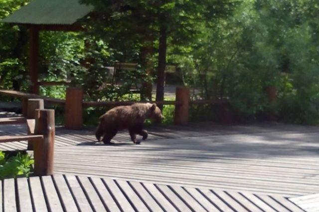 На Столбах тоже бродит медведь.