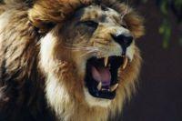 Под Днепром по селу разгуливал лев: хищник загрыз свиней на ферме