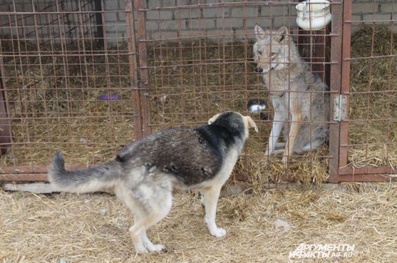 Собаки и волки уживаются в «Верности».