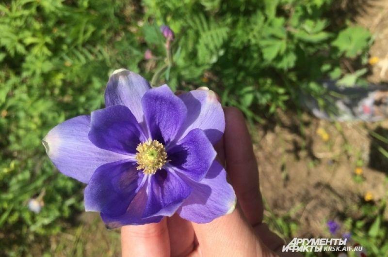 Чудный цветок аквилегия.