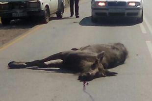 Сотрудники прокуратуры предложили установить на автомагистралях, рядом с дорожными знаками «Дикие животные», знаки ограничения скоростного режима.
