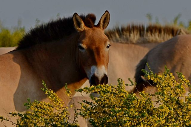 Лошадь Пржевальского в зарослях караганы желтой.