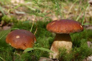 Белый гриб можно найти там, где растут мох, лишайники и невысокая трава.