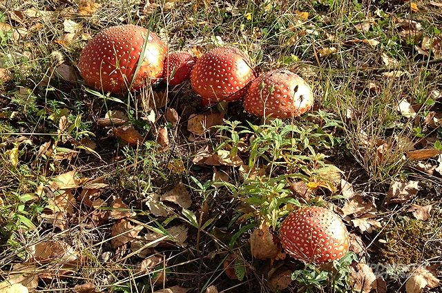 В Тюменской области зарегистрированы первые случаи отравления грибами