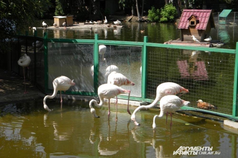 Розовые фламинго любят помочить ноги в искусственном озере