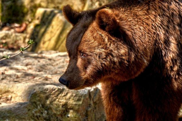 На «Столбах» туристы уже не раз встречались с хищниками.