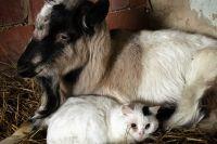 Молоко домашних животных может быть переносчиком опасного заболевания.