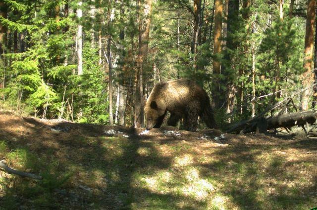 На «Столбах» туристы уже не раз видели хищника.