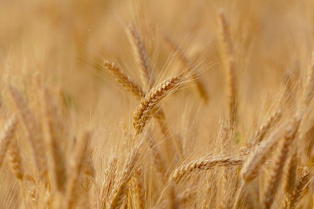 За полгода на экспорт ушло 146 тысяч тонн зерна.