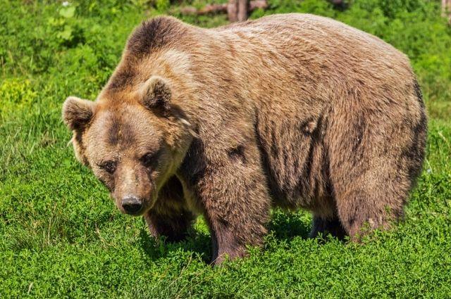 Медведь оставил на теле пострадавшего многочисленные укусы мягкой ткани.