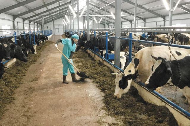 Спасённые коровы остались без крыши над головой.