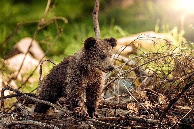 Численность бурого медведя в Пермском крае составляет 7,9 тыс. особей.