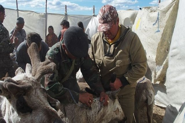 Защиту от сибирской язвы получили уже более 245 тысяч ямальских оленей