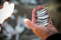На Ямале планируется строительство завода по разведению молоди сиговых рыб