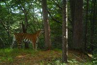 Труп амурского тигра был обнаружен в нацпарке «Бикин»