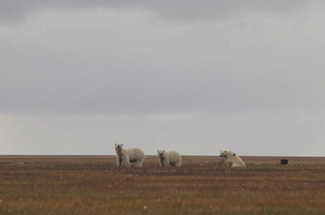 Ямальским белым медведям надевают спутниковые ошейники