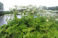Борщевик Сосновского в Башкирии может вырастать до трех метров высотой.