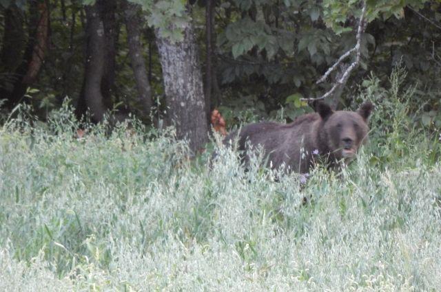 Встреча с медведем может закончиться печально.